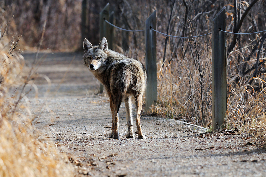 Coyote In Urban Park